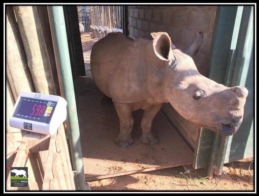 Rhino Oz beim Wiegen
