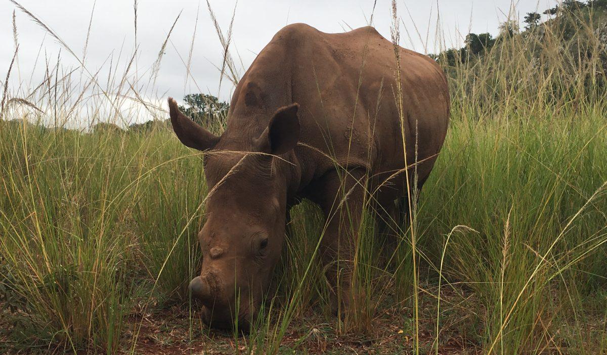 Für Rhino Oz ruft die Wildnis